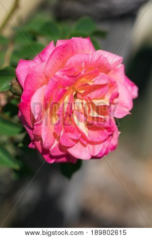Beautiful  Red Rose  Blooming In The Garden At Sunny Summer Or Spring Day