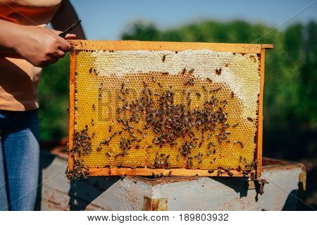 Frames Of A Bee Hive. Beekeeper Harvesting Honey. The Bee Smoker Is Used To Calm Bees Before Frame R