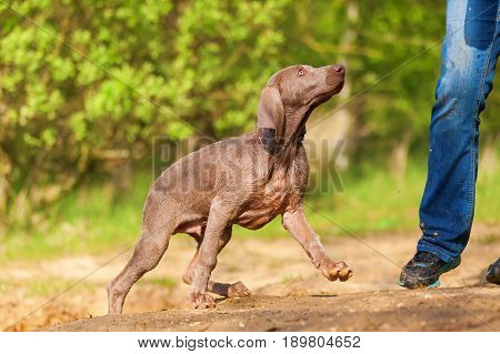 Person With A Weimaraner Puppy Outdoors