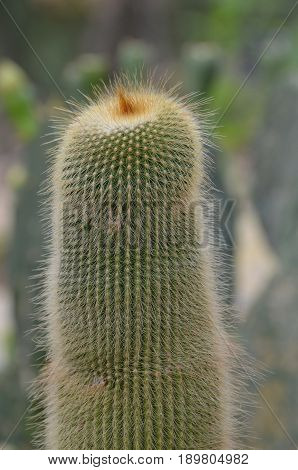 Cactus with lots of thin prickly hairs on the outside.