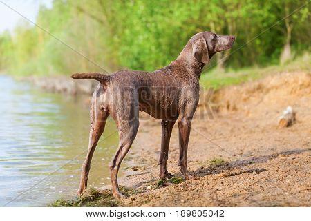 Portrait Of A Weimaraner Dog Lakeside