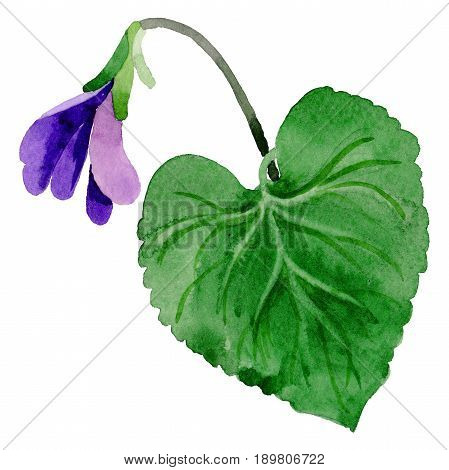 Wildflower Viola papilionacea flower leaf in a watercolor style isolated. Full name of the plant: Viola papilionacea. Aquarelle wild flower for background, texture, wrapper pattern, frame or border.