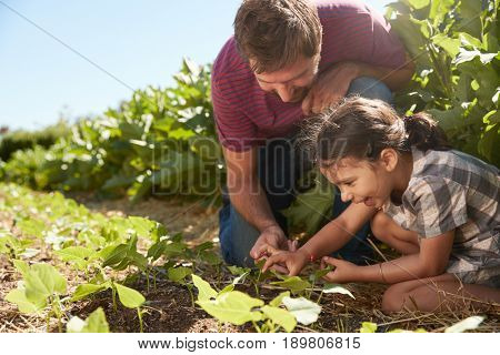 Father And Daughter Looking At Young Plants Growing On Allotment