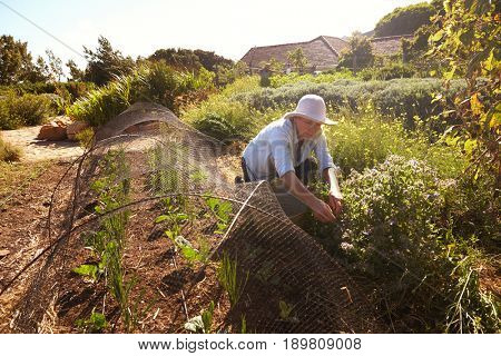Mature Woman Working On Community Allotment
