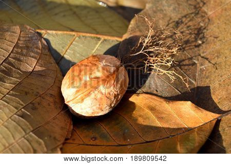 Mature nut on the fallen leaves of the walnut in autumn