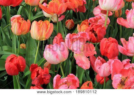Horizontal image of tulips in landscaped Springtime garden