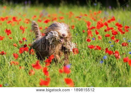 Bearded Collie With A Rope In A Poppy Meadow