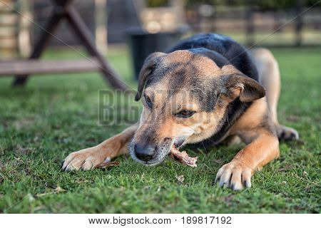 Dog Chewing A Bone Whilst Laid Outside On Grass
