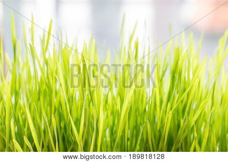Fresh and young green wheat grass with blurred natural sunlight in background.