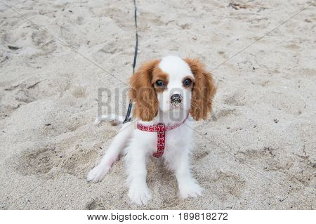 dog or cavalier king charles spaniel puppy small little pet with white coat long brown ears and adorable eyes on sunny day sitting on natural sand. Friend friendship. Empathy