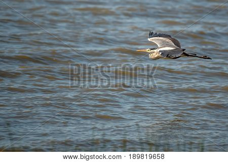 Grey heron or ardea cinerea flying over the water surface