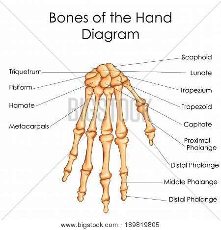 Medical Education Chart of Biology for Bones of Hand Diagram. Vector illustration