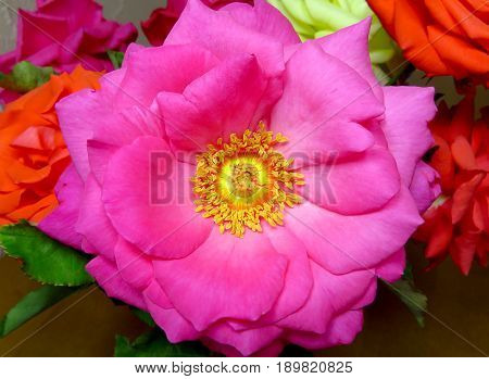 Rose flower macro close up with stamens and pistil