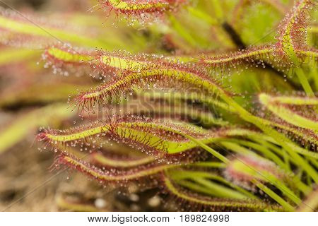 Detail of sticky structures of insectivorous drosera plant sundew.
