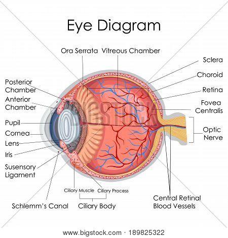 Medical Education Chart of Biology for Human Eye internal Diagram. Vector illustration
