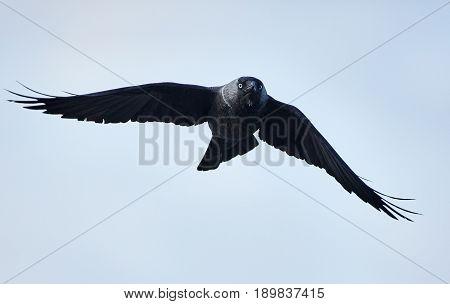 Western jackdaw in flight against clear sky