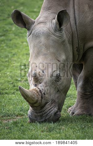 Very close portrait of a rhinoceros with its head down grazing on grass in an upright vertical format