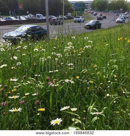Bracknell, England - May 21, 2017: Wildflowers including Ox Eye Daisy, Clover and Dandelions growing on a grass verge beside a road full of traffic in Bracknell, England