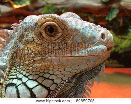 Chinese Water Dragon (Physignathus cocincinus). Agamid lizard native to China and mainland Southeast Asia. It's also known as Asian water dragon Thai water dragon and green water dragon. poster