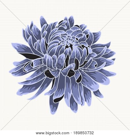 Blue chrysanthemum. Colored and lined chrysanthemum isolated flower