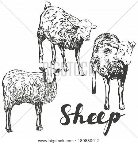 sheep hand drawn vector illustration realistic sketch