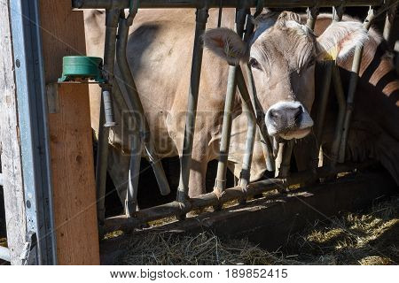 Brown Swiss cows Feeding at a farm on the Swiss alps