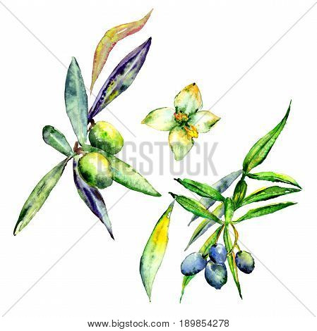 Olive tree in a watercolor style isolated. Full name of the plant: Branches of an olive tree. Aquarelle olive tree for background, texture, wrapper pattern, frame or border