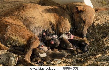 Brown dog nursing newborn puppies on beach