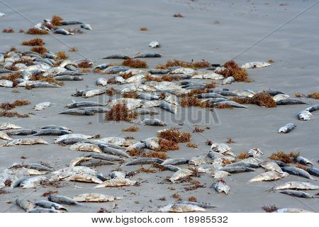 A lot of dead fish on the beach