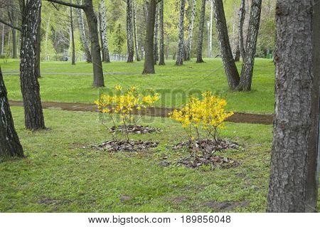 Landscape design, plants and trees in forest. Flower bloom. Spring. Forsythia