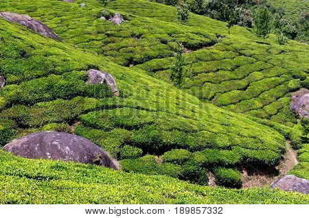 Beautifully green tea plantations in India in the Kerala state