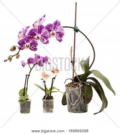 Bush of phalaenopsis orchid and two dwarf orchids on white background
