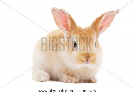 one young light brown and white spotted rabbits with long ears standing isolated on white poster