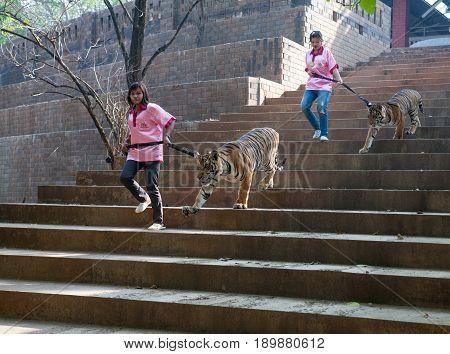 Thailand, Kanchanaburi. 23 February 2010: The Girls-volunteers and the young Tigers, Tiger Temple, Kanchanaburi, Thailand