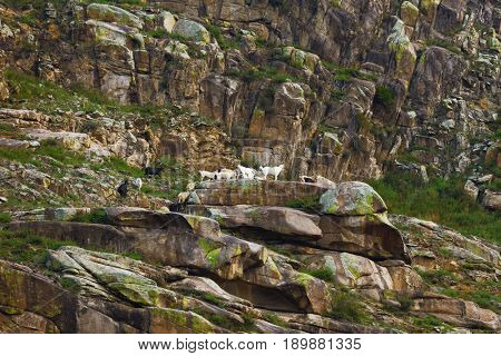 Mountain goats on slope. Altai Russia