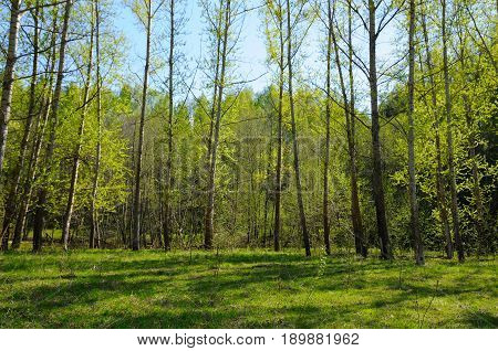 Wild growing poplar forest in late spring