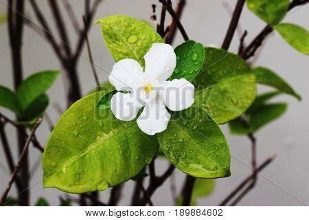 The white gardenia on the tree has one flower in the garden