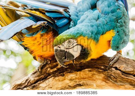 Blue-and-Yellow Macaw parrots  in the zoo .