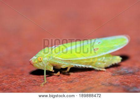 Close-up of a Small Cicada. Boquete Panama