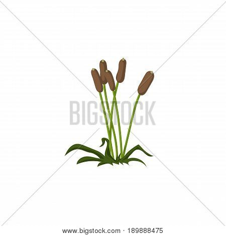 Reeds. On isolated white background. Vector, flat