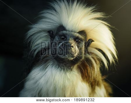 Oedipus Tamarin. Portrait of an unusual monkey poster