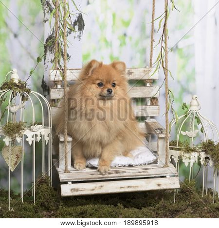 German spitz in decorated environment