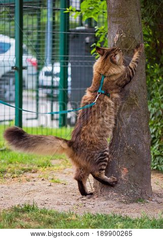 Black tabby Maine Coon cat with leash wandering in backyard. Young cute male cat wearing a harness sharpening its claws on tree. Pets walking outdoor.