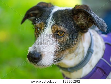 Portrait of adorable mixed breed dog with big eyes and ears. Funny mongrel puppy, headshot outdoors at spring or summer park.