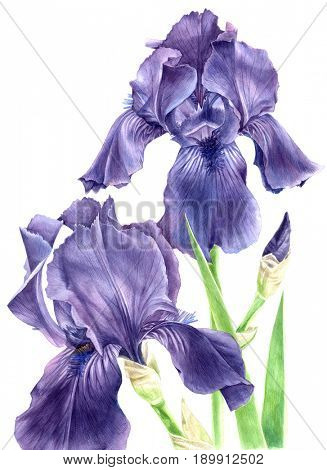 Hand drawn watercolor iris flowers isolated on white background
