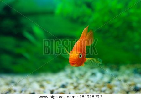 Red Blood Parrot Cichlid In Aquarium Plant Green Background. Funny Orange Colourful Fish - Hobby Con