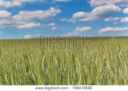 Field of green grain against the background of a blue sky with clouds. Summer day at the farm