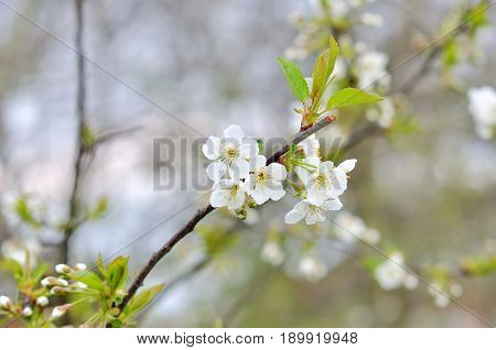 beautiful closeup spring blossoming tree with white flowers