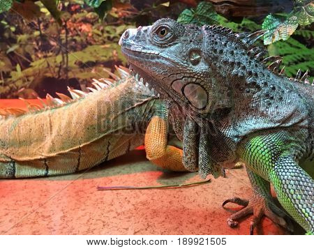 Chinese Water Dragons (Physignathus cocincinus). Agamid lizard native to China and mainland Southeast Asia. It's also known as Asian water dragons, Thai water dragons, and green water dragons. poster