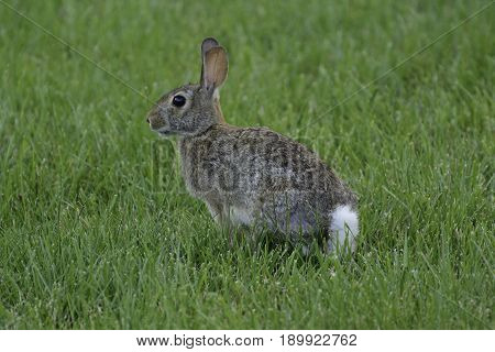 An Eastern Cottontail Rabbit (Sylvilagus floridanus) shown in left profile, sitting still on a lawn, poised to run, in Taneytown, Carroll County Maryland, USA..